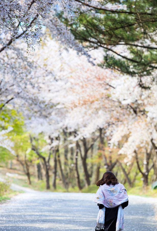 백화산으로 오르는 벚꽃길. 봄이 간다. /박종인