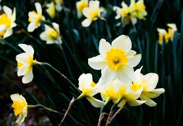 수선화. 제주도 유배지에서 수선화를 본 추사 김정희는 그 꽃밭을 이렇게 묘사했다. '눈 감으면 그만이지만 눈을 뜨면 눈에 가득 들어오니 어찌 눈을 가려야 할지요.' /박종인