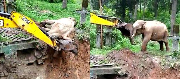 진흙 구덩이에서 빠져 올라오려고 애쓰는 아기 코끼리 한 마리가 포클레인의 도움을 받아 극적으로 구조되는 모습을 포착한 영상이 공개됐다. 영상 속 구조된 코끼리는 자신을 구해준 포클레인에 코를 비비며 감사 인사를 해 감동을 자아냈다./ 트위터