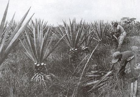 /재외동포재단 한인 노동자들이 에네켄 잎을 잘라내는 모습.