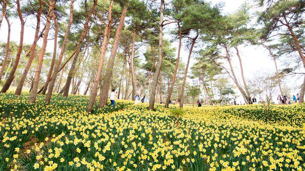 푸른 소나무와 노란 수선화가 이리 잘 어울린다. /박종인